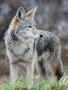 Image coyote