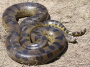 Image anaconda