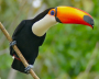 Image toucan