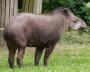 Image tapir