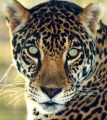 jaguar973