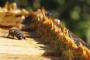 Image propolis