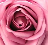La Rose du Sud