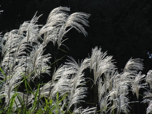 Image miscanthus
