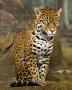 Image jaguar